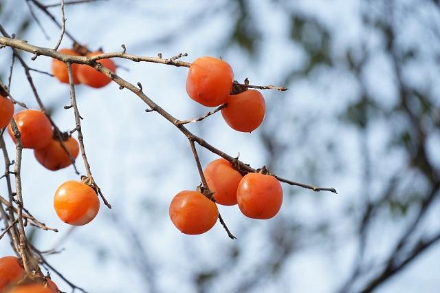 木になっている柿