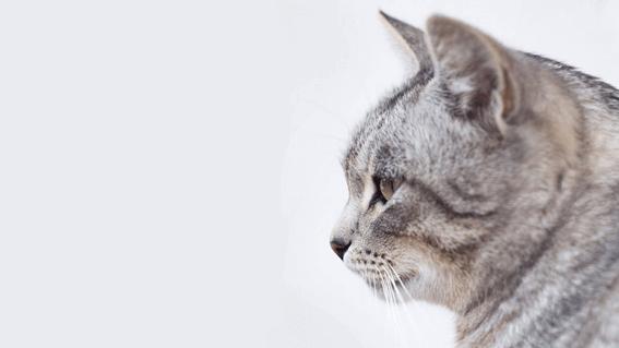猫の交配とは?繁殖の流れやポイント