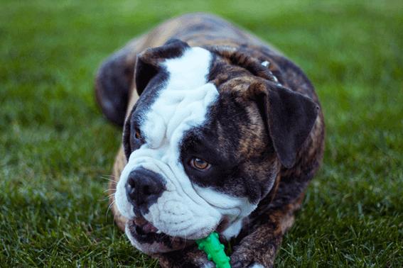 犬種標準やスタンダードが犬種ごとの基準となる
