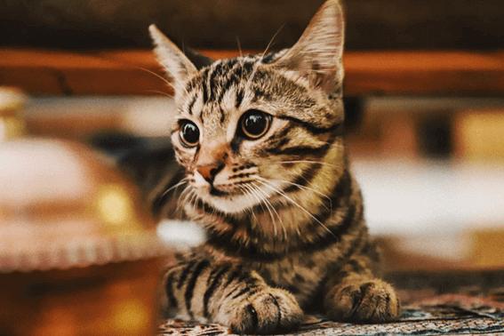 猫のブラッシングはどうする?嫌がるときの対処法や正しいやり方は?