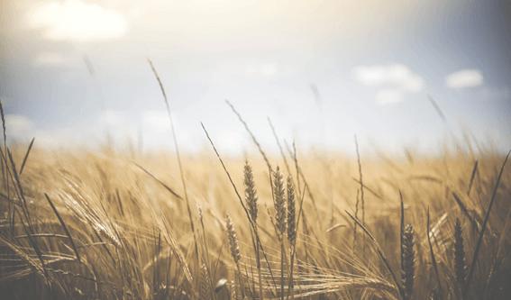 ライ麦とは?特徴や小麦粉との違いについて徹底解説!
