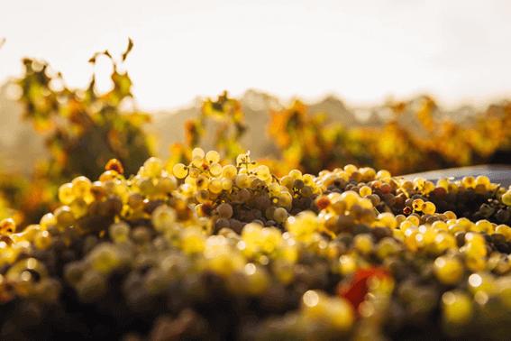 ワインを楽しむならぶどうの品種についても押さえよう