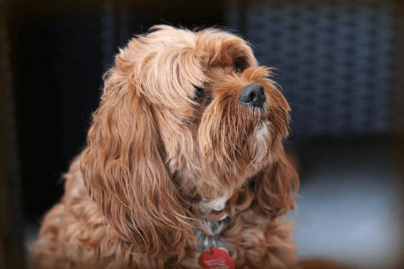 ハサミを上手に選んで犬の毛を安全にカットしよう!