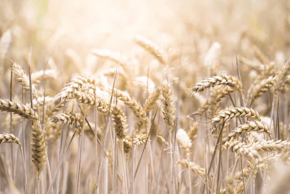 ライ麦と小麦にはさまざまな違いがある!